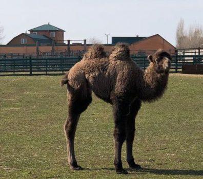 Новонароджене верблюденя