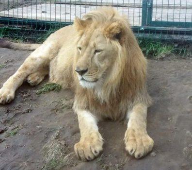 Тепер у нашому БІОпарку є спражній цар звірів